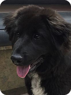 Border Collie Mix Puppy for adoption in Las Vegas, Nevada - Fender