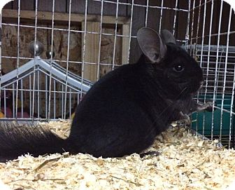 Chinchilla for adoption in Hammond, Indiana - 5 mo dark ebony F chinchilla 2