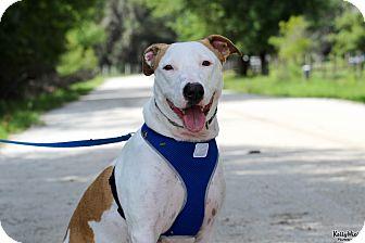 Bull Terrier Mix Dog for adoption in Myakka City, Florida - Kira