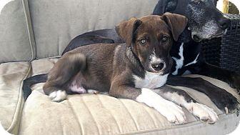 Labrador Retriever/Husky Mix Puppy for adoption in Cincinnati, Ohio - Jude
