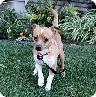 Pug/Chihuahua Mix Dog for adoption in Newport Beach, California - NEO