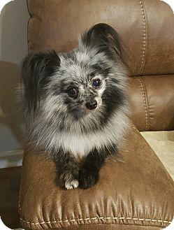 Pomeranian Mix Dog for adoption in Mount Pleasant, South Carolina - Sprinkles