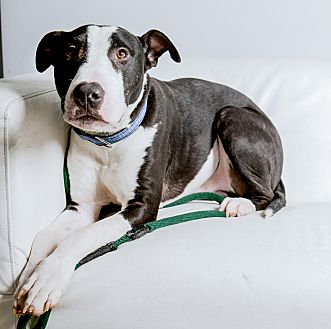 Great Dane/Bull Terrier Mix Dog for adoption in Inglewood, California - Maui