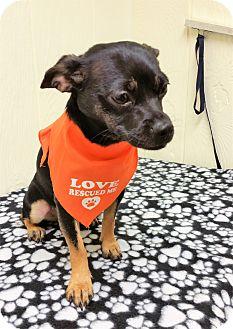 Chihuahua Mix Dog for adoption in Tavares, Florida - Lillabeth