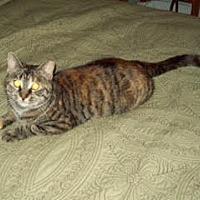 Domestic Shorthair Cat for adoption in Harrisburg, Pennsylvania - Punkin (courtesy posting)