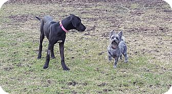 Great Dane Mix Puppy for adoption in O'Fallon, Missouri - Bonnie