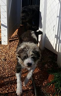 Labrador Retriever/Jack Russell Terrier Mix Dog for adoption in Wingate, North Carolina - Max and Mikki 2 dogs