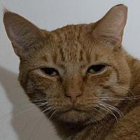 Domestic Shorthair Cat for adoption in Jaffrey, New Hampshire - Ziggy