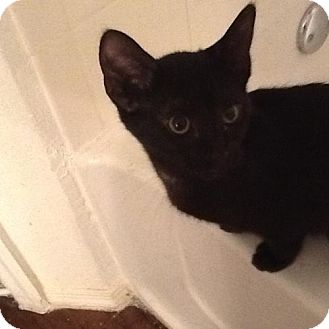 Domestic Shorthair Kitten for adoption in Oviedo, Florida - Sable