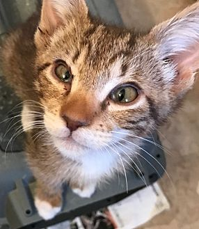 Domestic Shorthair Kitten for adoption in La puente, California - Nazboo