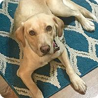 Adopt A Pet :: Honey - Glastonbury, CT