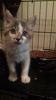 Domestic Shorthair Kitten for adoption in Sacramento, California - mist