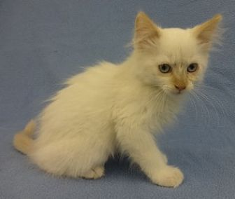 Siamese Kitten for adoption in Olive Branch, Mississippi - Cloud