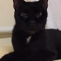 Adopt A Pet :: Bagheera - Hampton, VA