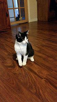 Domestic Shorthair Kitten for adoption in Washington, D.C. - Nitro