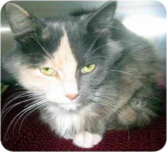 Calico Kitten for adoption in Overland Park, Kansas - Reese