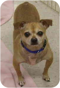 Chihuahua/Pug Mix Dog for adoption in House Springs, Missouri - Tad
