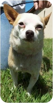 Chihuahua Dog for adoption in North Judson, Indiana - Nemo