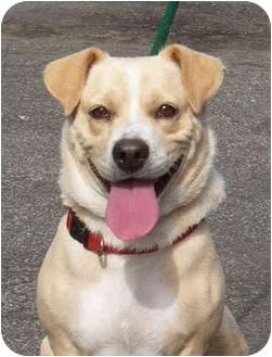 Corgi/Labrador Retriever Mix Dog for adoption in El Segundo, California - Annie