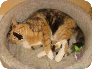 Calico Cat for adoption in Libby, Montana - Lily