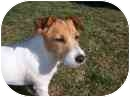 Jack Russell Terrier Dog for adoption in Houston, Texas - Yoshi in Denton