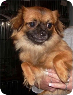 Chihuahua/Shih Tzu Mix Dog for adoption in Port Jefferson Station, New York - Ginger