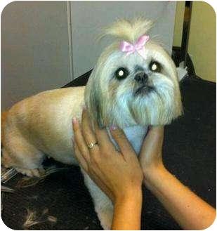 Shih Tzu Mix Dog for adoption in Mary Esther, Florida - Buffy