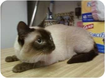 Siamese Cat for adoption in Ontario, California - Lily