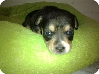 Terrier (Unknown Type, Medium) Mix Puppy for adoption in Cumberland, Maryland - Pearl