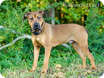 Hound (Unknown Type)/Shar Pei Mix Dog for adoption in Monroe, Georgia - CLYDE