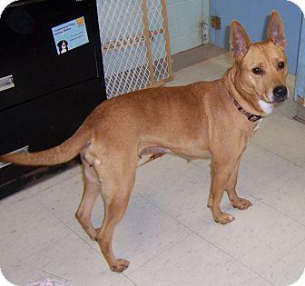 Shepherd (Unknown Type)/Terrier (Unknown Type, Medium) Mix Dog for adoption in Chambersburg, Pennsylvania - Countess