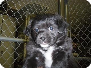 Pomeranian/Papillon Mix Puppy for adoption in Fort Benton, Montana - Cuachrro