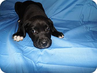 Labrador Retriever/Boxer Mix Puppy for adoption in Bel Air, Maryland - Buster