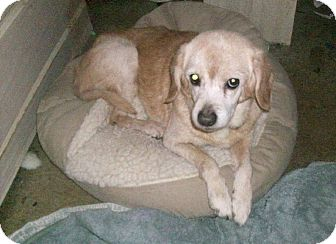 Beagle Mix Dog for adoption in Ventnor City, New Jersey - CUPID