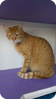 Domestic Shorthair Cat for adoption in Richboro, Pennsylvania - Mickey Rourke