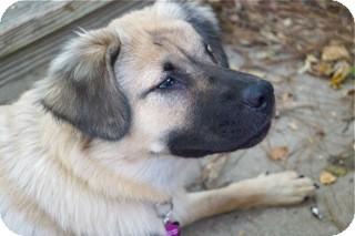 German Shepherd Dog Mix Dog for adoption in Groton, Massachusetts - Nora