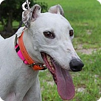 Greyhound Dog for adoption in Cherry Hill, New Jersey - Sneak Thru ('Roxy')