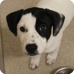 Labrador Retriever/Pointer Mix Puppy for adoption in Naperville, Illinois - Leeha