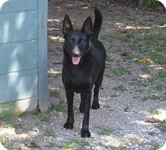 German Shepherd Dog Dog for adoption in Laplace, Louisiana - Jula
