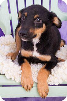 Blue Heeler Mix Puppy for adoption in Fort Lupton, Colorado - Dandi
