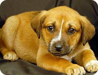 St. Bernard/Bluetick Coonhound Mix Puppy for adoption in Newland, North Carolina - Rosita