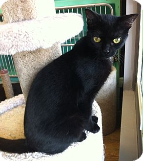 Domestic Shorthair Cat for adoption in Port Hope, Ontario - Shaba