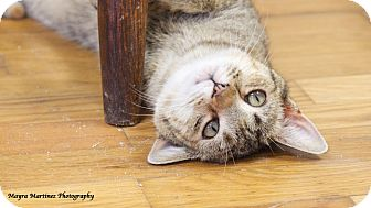 Domestic Shorthair Cat for adoption in Knoxville, Tennessee - Laney