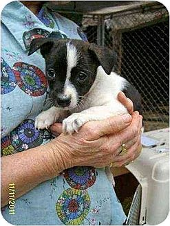 Boston Terrier/Feist Mix Puppy for adoption in Oswego, New York - Rhea