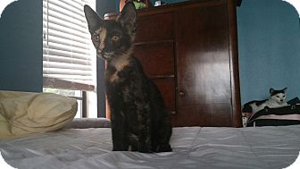 Domestic Shorthair Kitten for adoption in New Port Richey, Florida - Twoface