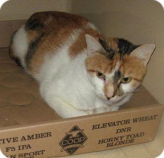 Domestic Shorthair Cat for adoption in Stillwater, Oklahoma - Calliope