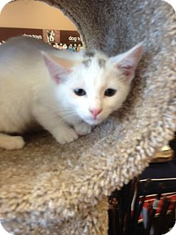Domestic Shorthair Kitten for adoption in Hamilton, Ontario - Blizzard