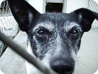 Rat Terrier Mix Dog for adoption in Reedsport, Oregon - Freckles