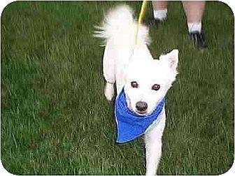 American Eskimo Dog Dog for adoption in Downey, California - Ghangus