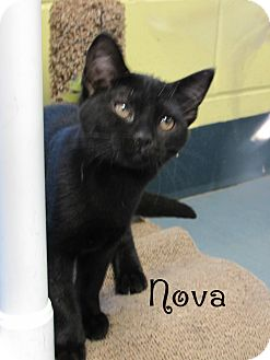 Domestic Shorthair Kitten for adoption in Jackson, New Jersey - Nova